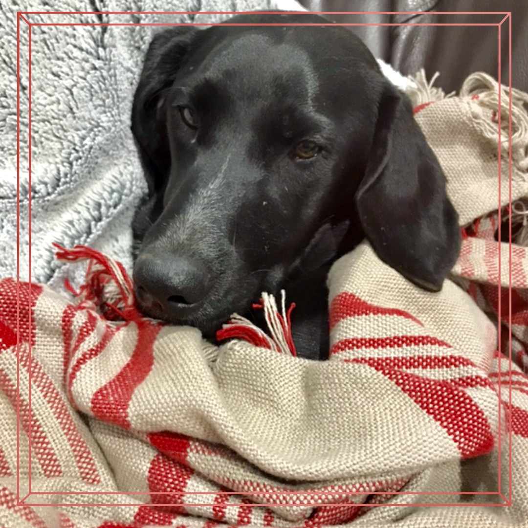 sleeping dog wrapped up in a blanket