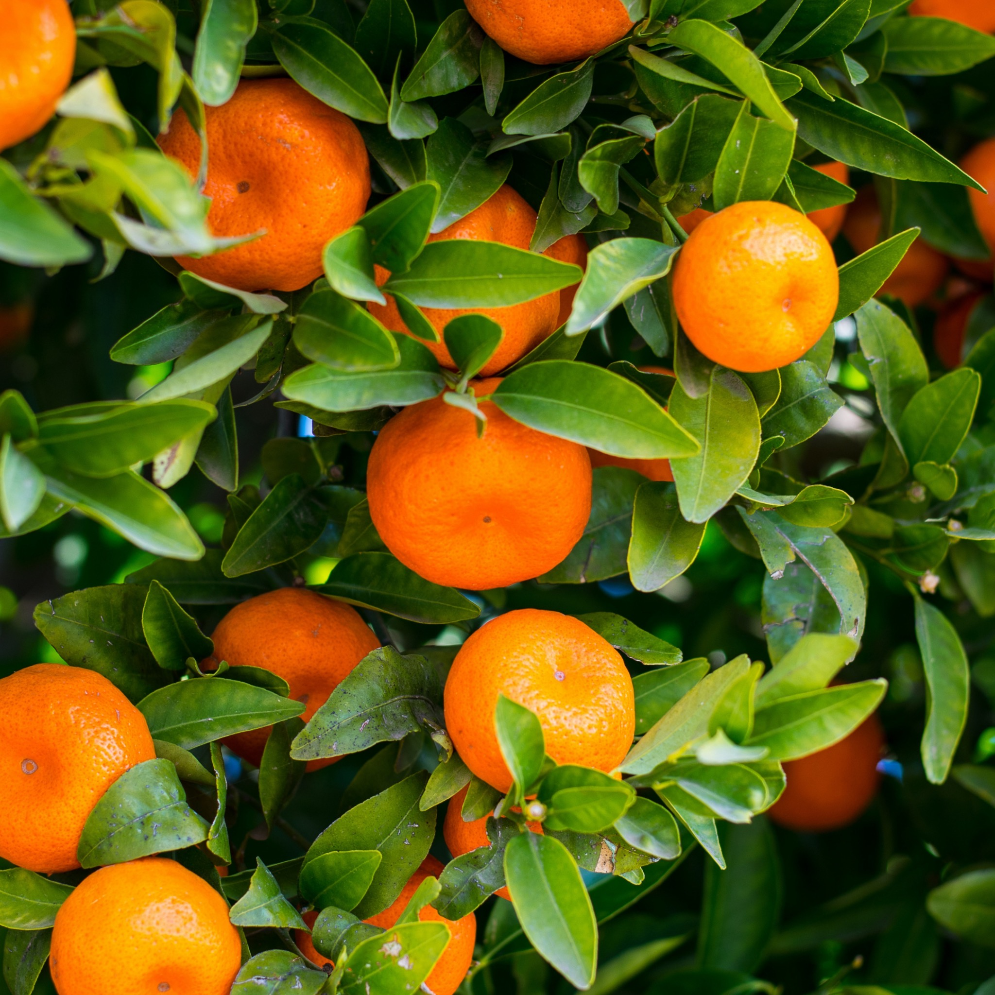 a close up of an orange tree with some ripe oranges on a tree
